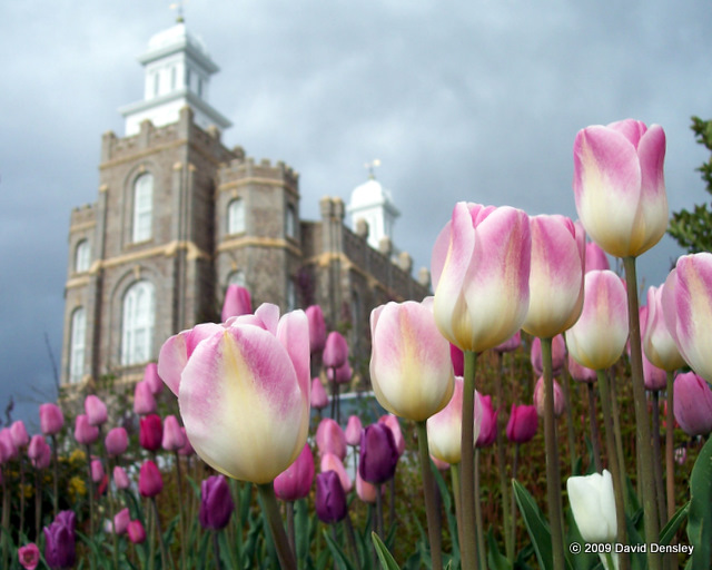Tulips at the Temple