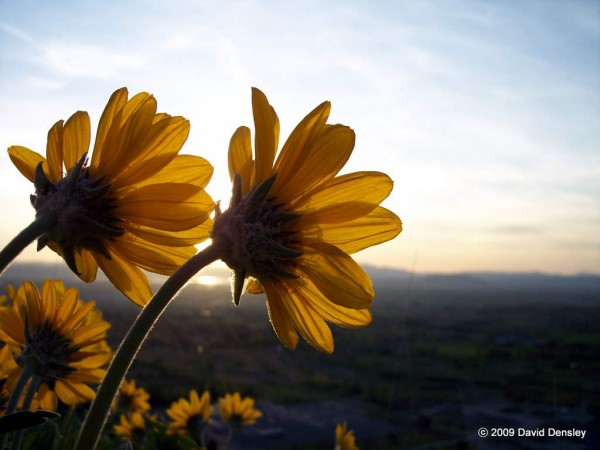 Arrowleaf Balsamroot blooms watch the sunset over Cache Valley Utah.