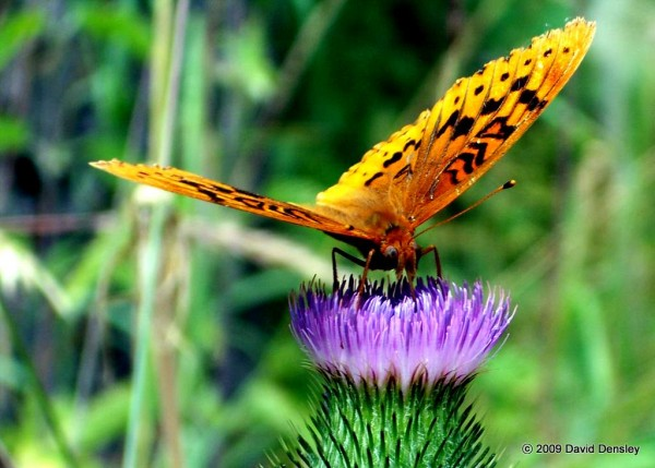 Great Spangled Fritillary on Purple Thistle
