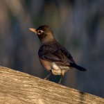 American Robin on Fence Post - Back