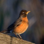American Robin on Fence Post
