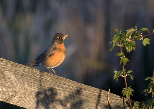 Robin Sitting on Fence Post