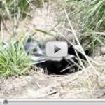 Baby Skunk Video