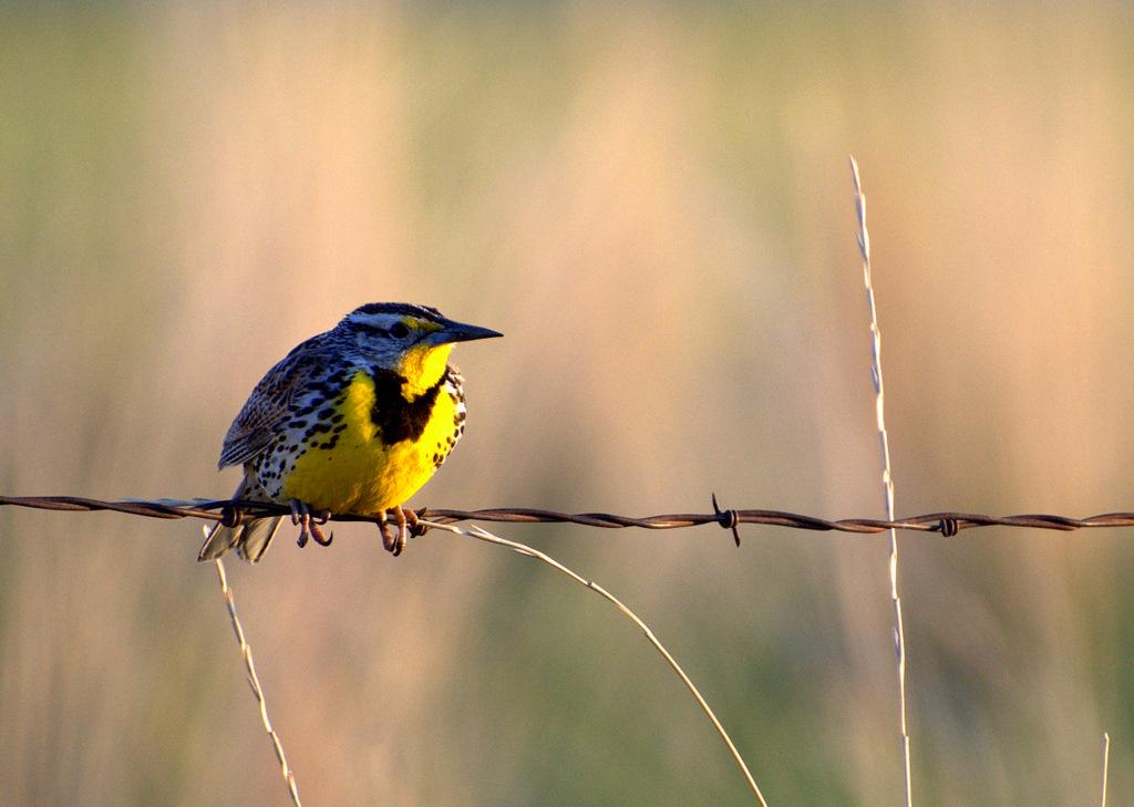 Montanakids  State Bird Western Meadowlark