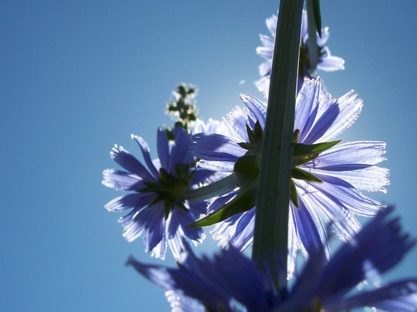 Chicory Bloom and Stalk