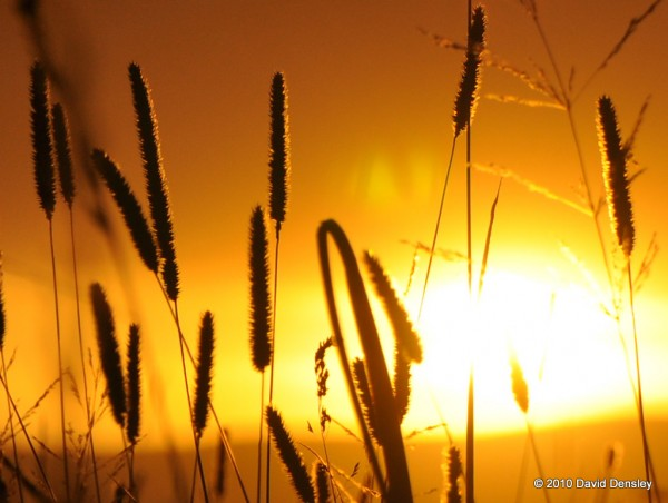 Switch Grass at Sunset